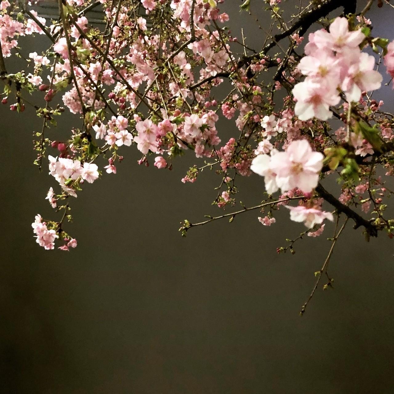 一気に春めいてきた。あったかい1日でした。#桜 #春めいて