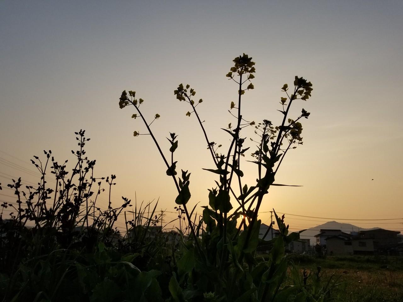 夜明けの菜の花。