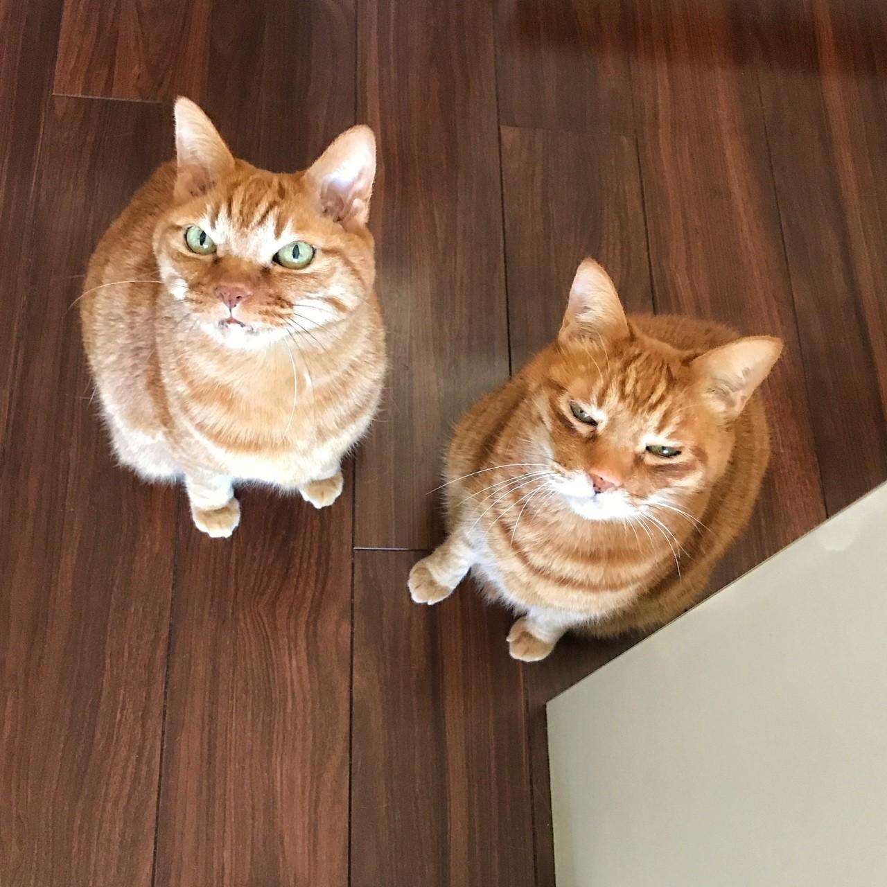 ボクとチビです。イレギュラーでママが先に仕事へ、残っていたパパも出て行こうとしたらニャー!ニャー!鳴いてこの顔。私もネコに必要とされてました。