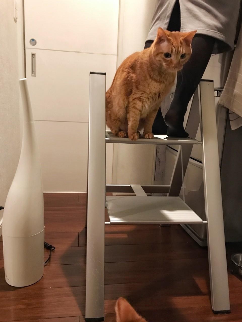 チビとママです、いっしょに脚立にのってます。冷蔵庫の上のものを取りたいママ、脚立の一番上はゆずらないチビ。これ、いつものことなのでいっしょにのる親子。平気な感じでやってますが、以前に脚立から落ちてケガをしたママ。見ているこっちはヒヤヒヤ。