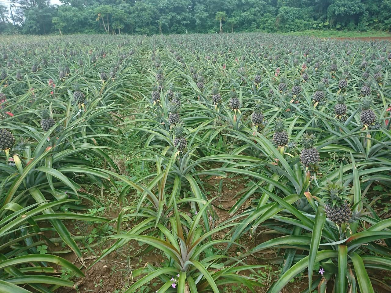 最近、島で人気上昇中のパイナポー! 宮古島では土の成分的に、出来ないといわれてたのに、この成果!すばらっ!