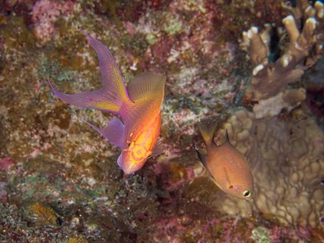 ハナゴンベの幼魚 幼魚のときは頭の紋章が綺麗 成魚になるにつれて紋章は消えていく