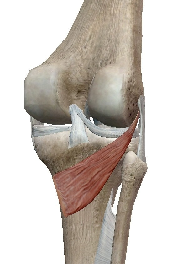 「膝窩筋」の画像検索結果
