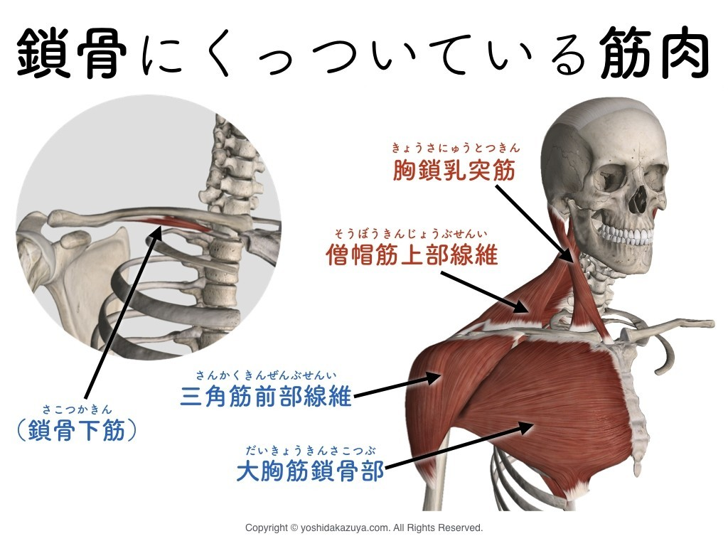 乳 突筋 痛い 胸 鎖