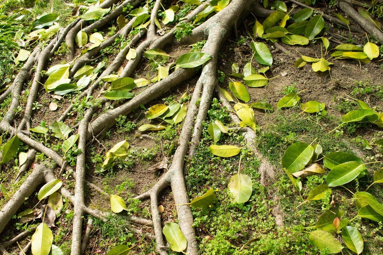 立派な根っこに落ち葉で装飾