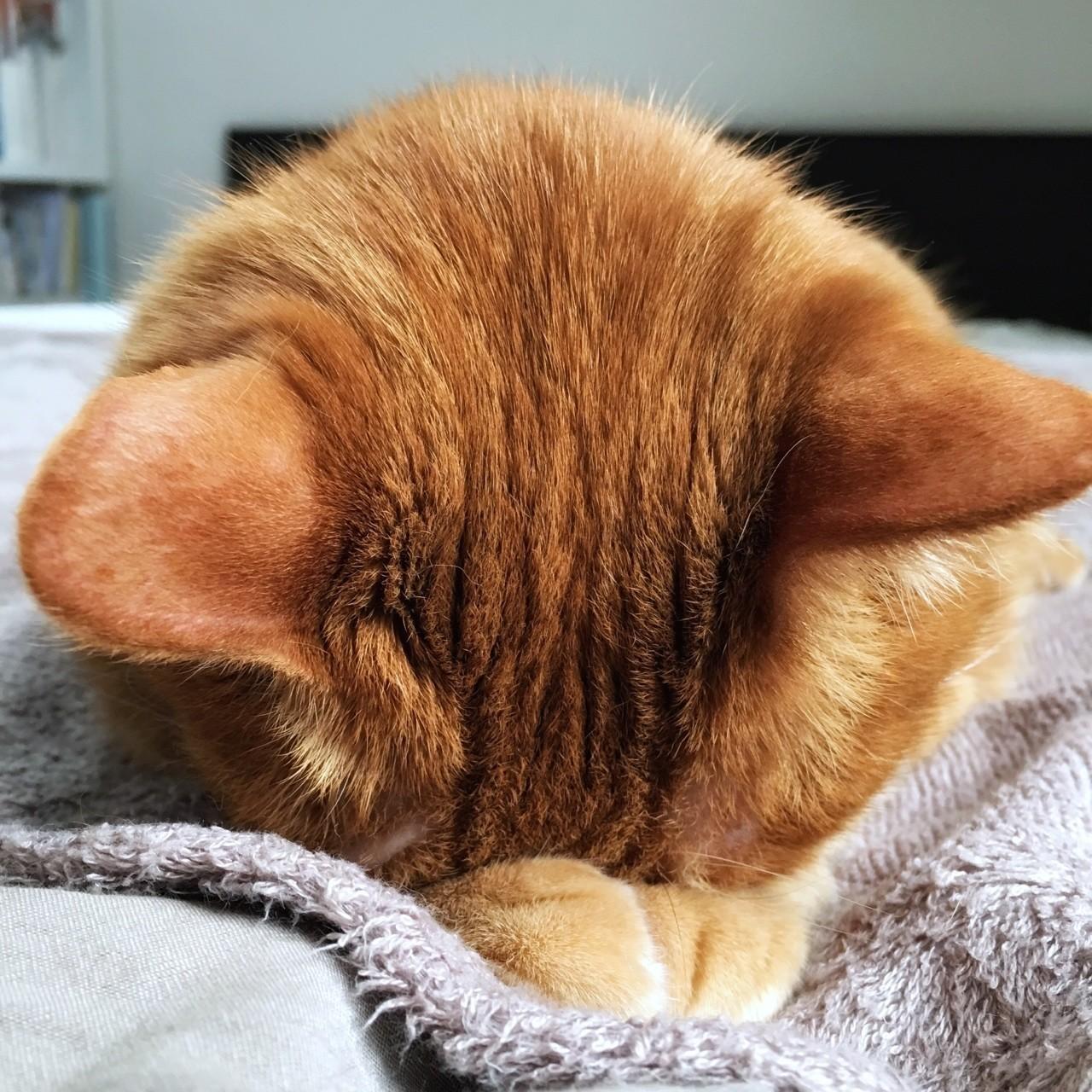 ボクです、うつぶせ寝中。おテテを枕に顔は真下に向き、いっしょうけんめい寝ております。
