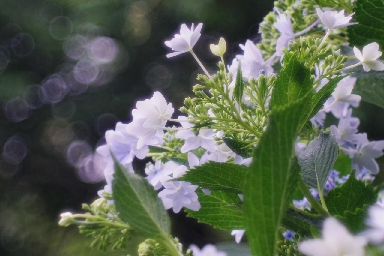 紫陽花が見ごろですね。