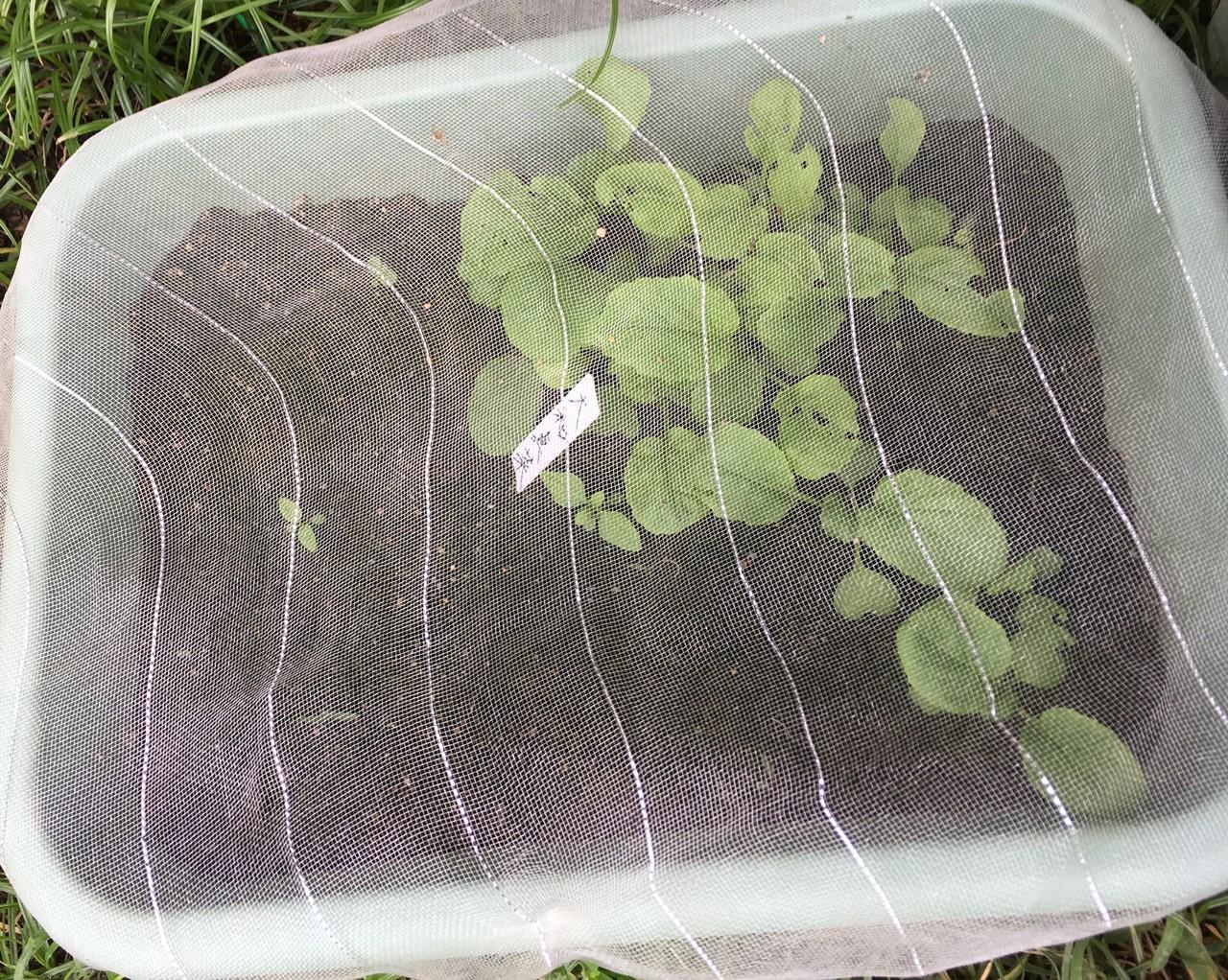 奈良の伝統野菜の、大和真菜(やまとまな)を植えてみました。