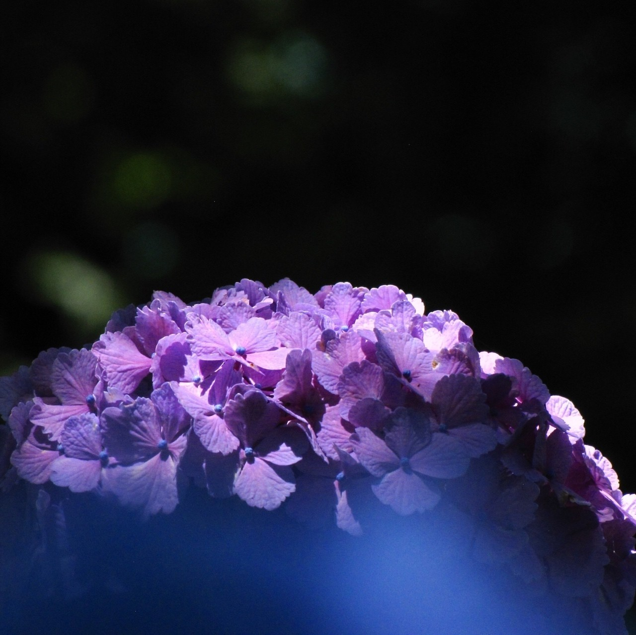 雨の日に活きるアジサイの花は木漏れ日の中が似合っているような気がします。