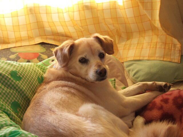 23年前、迷い犬として我が家にやって来た雑種のサリー。  この子とは心が繋がっていた。 私が落ち込んでいると黙って側に来て座って。  誰もいない時は女同士、色んな話をしたよね。私の心にサリーの気持ちが流れ込んで来てとても助けられた。  でもね、君の後に来た子達とは、心が繋がらないの。 男の子はいつまで経っても子供っぽくて自分勝手よね(笑)  でも、今は別な子とお話できるようになったから平気だよ。  かたポンって言うんだけどね。 その話はまた別の日にするね。  おやすみ、サリー。