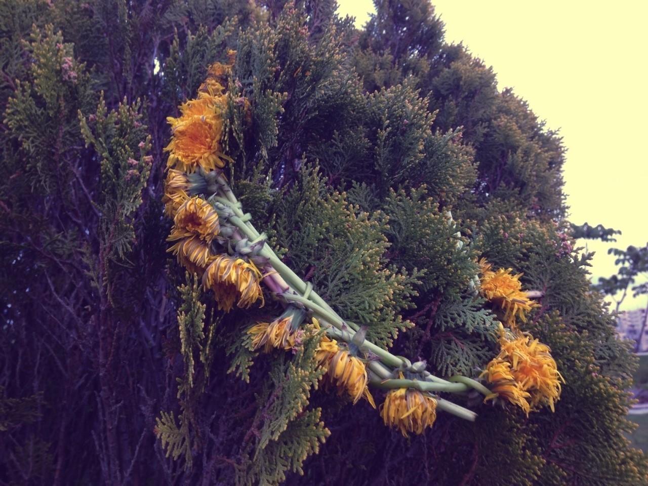 桜が咲いて間もない時期の春の日、 豊平川を歩いていると、低木に誰かが作った花の冠が捨てられているのを見つけた。