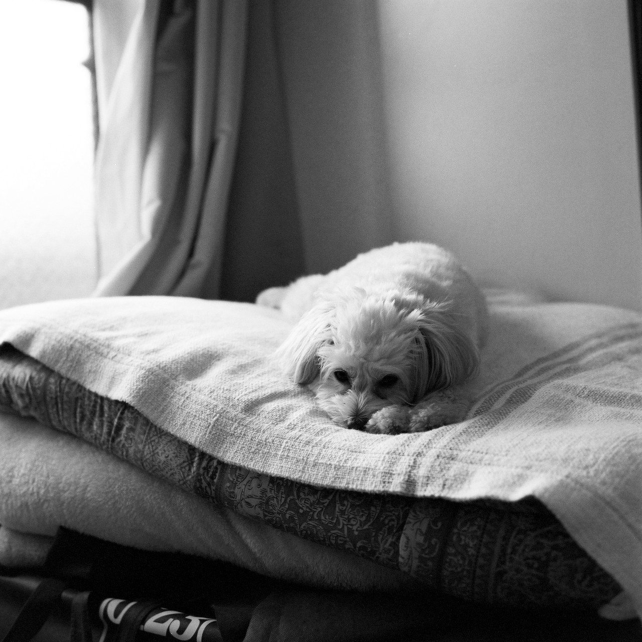 ハッセルに白黒フィルムを詰めて、愛犬を撮りました。