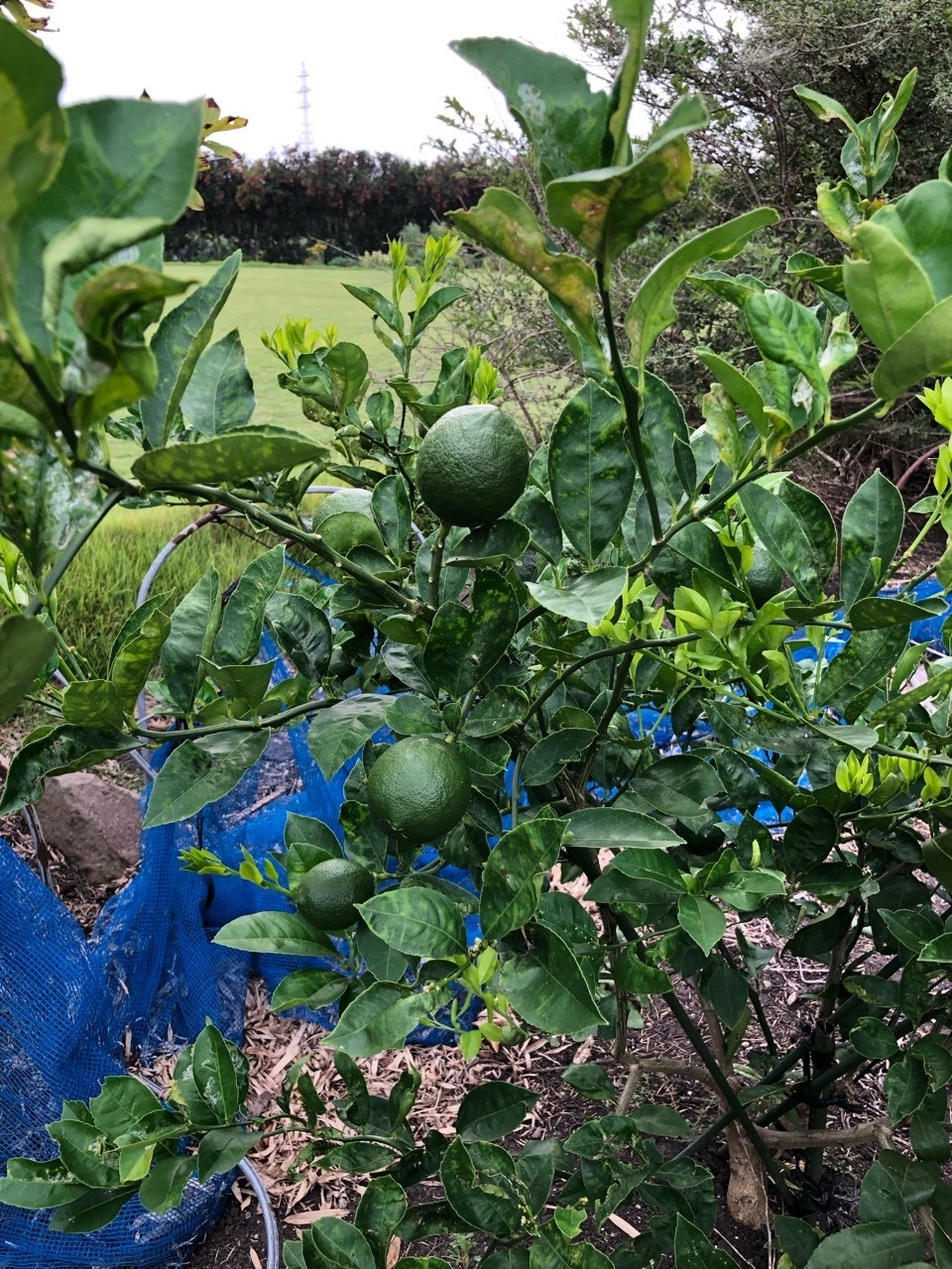 レモンの実がなってました。 収穫が楽しみです。