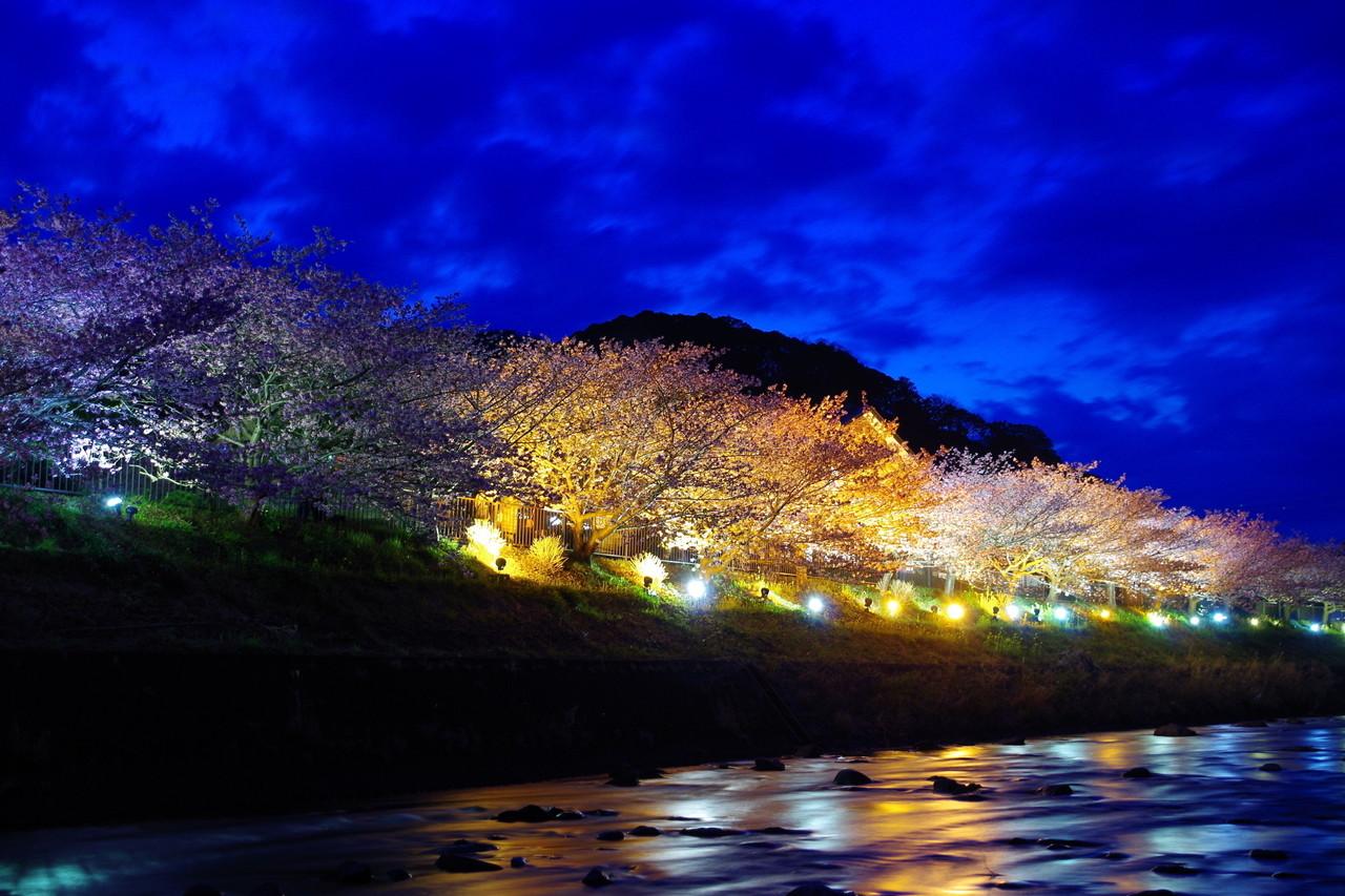 河津桜ライトアップ 2015/02/28