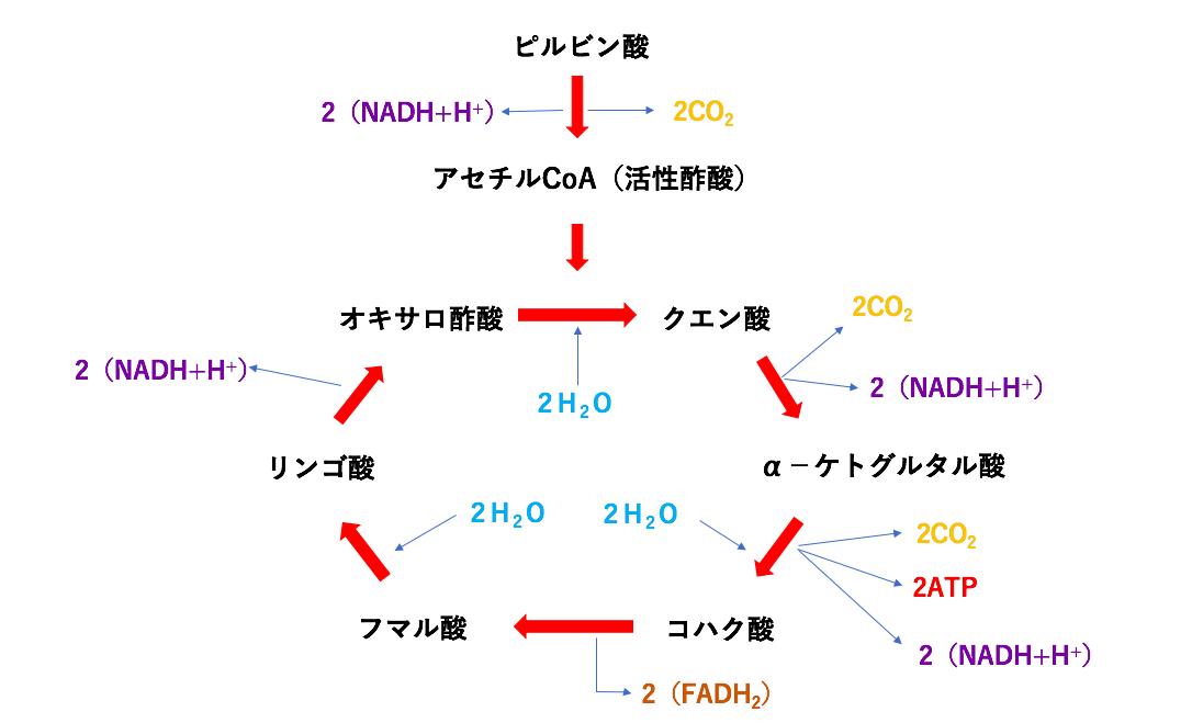 ATP産生の第2工程 〜クエン酸回路編〜|知識を整理して臨床に活かす ...