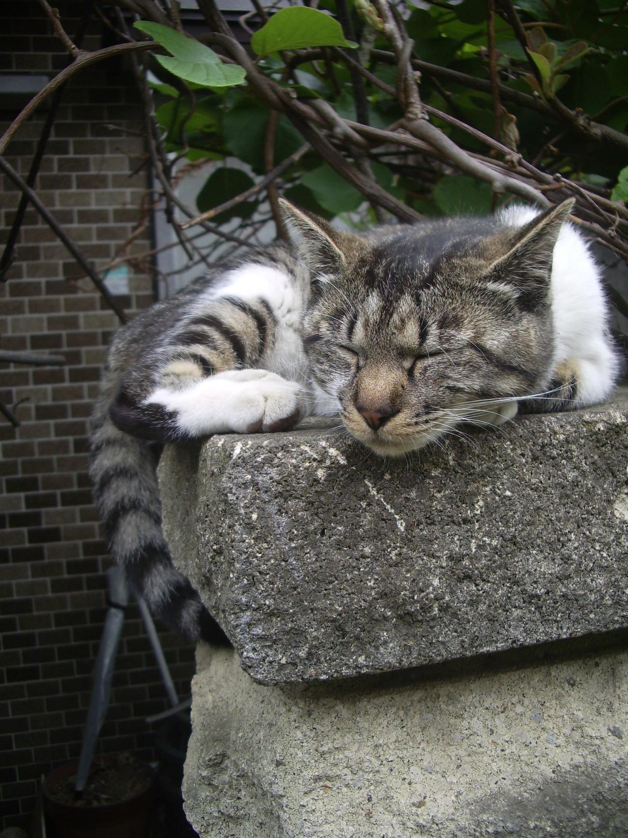 #猫 #梅雨 #栗花落