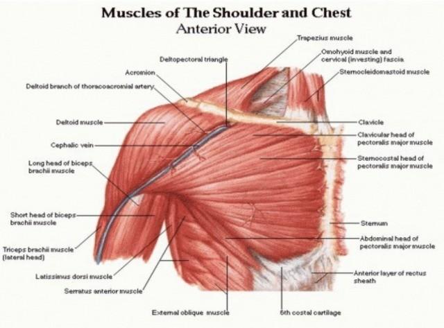 大胸筋の構造