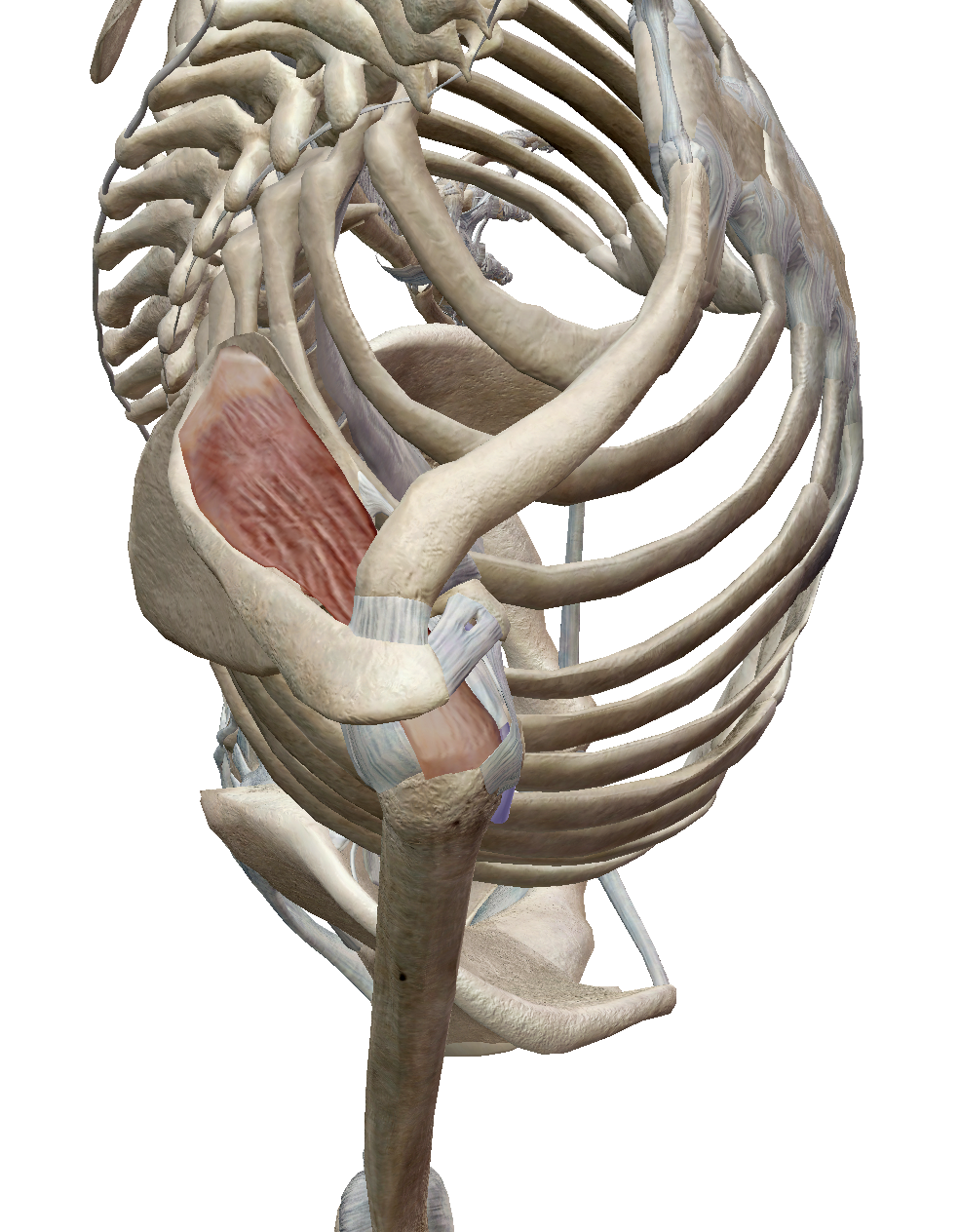 棘上筋の機能解剖