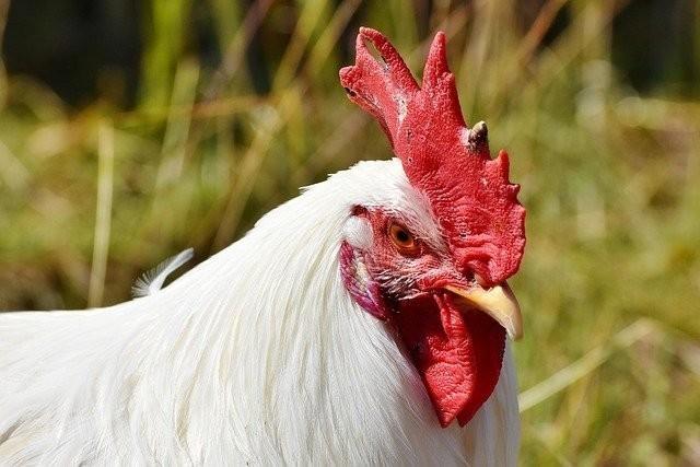鶏口 牛 後 意味 「鶏口となるも牛後となるなかれ」の意味と由来、類語、対義語、理由...