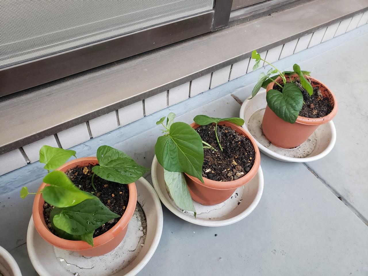 の 方 さつま芋 植え