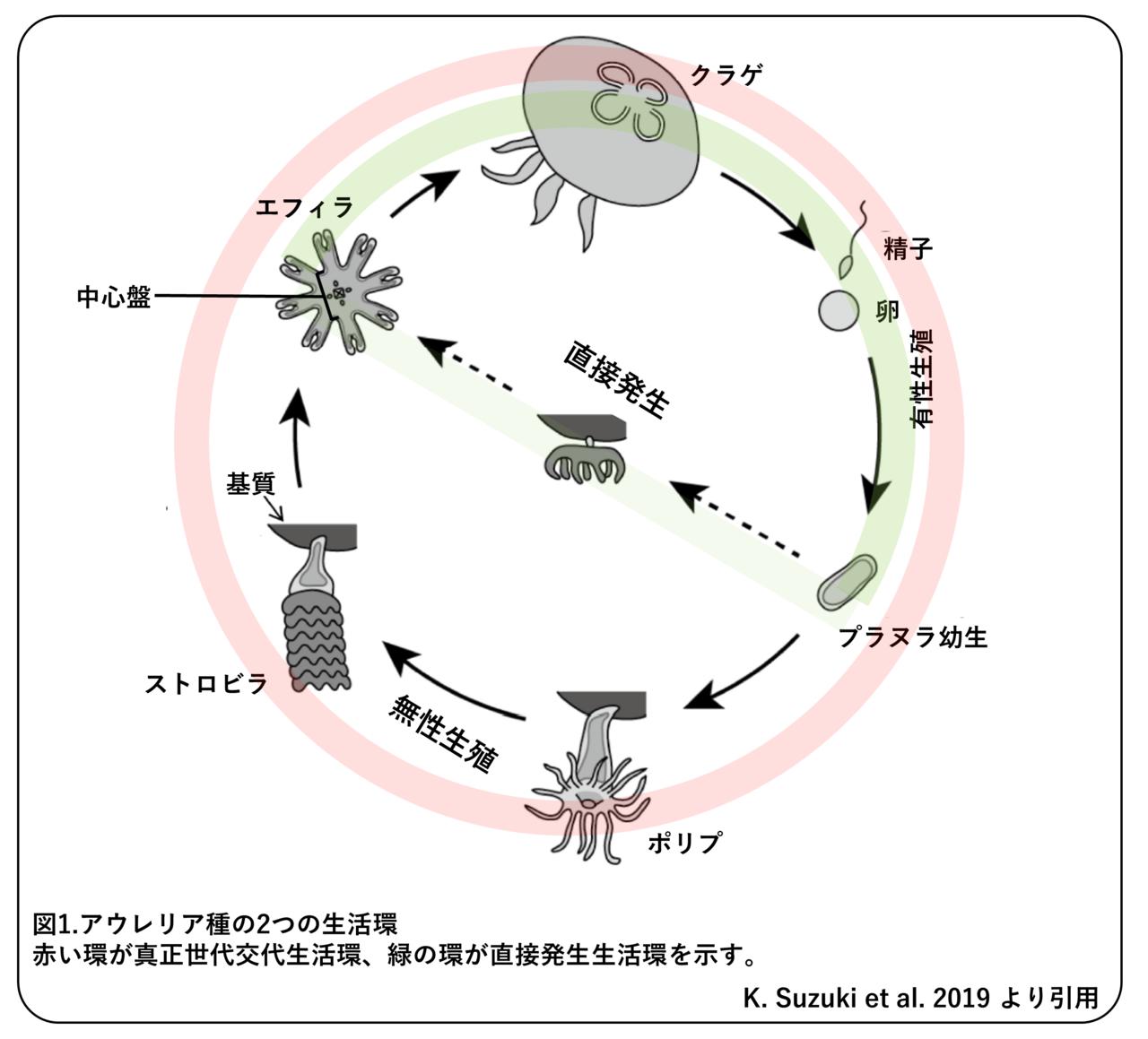 ミズクラゲの大発生 ~季節によって変わる増え方~ 論文紹介 かわいせ ...