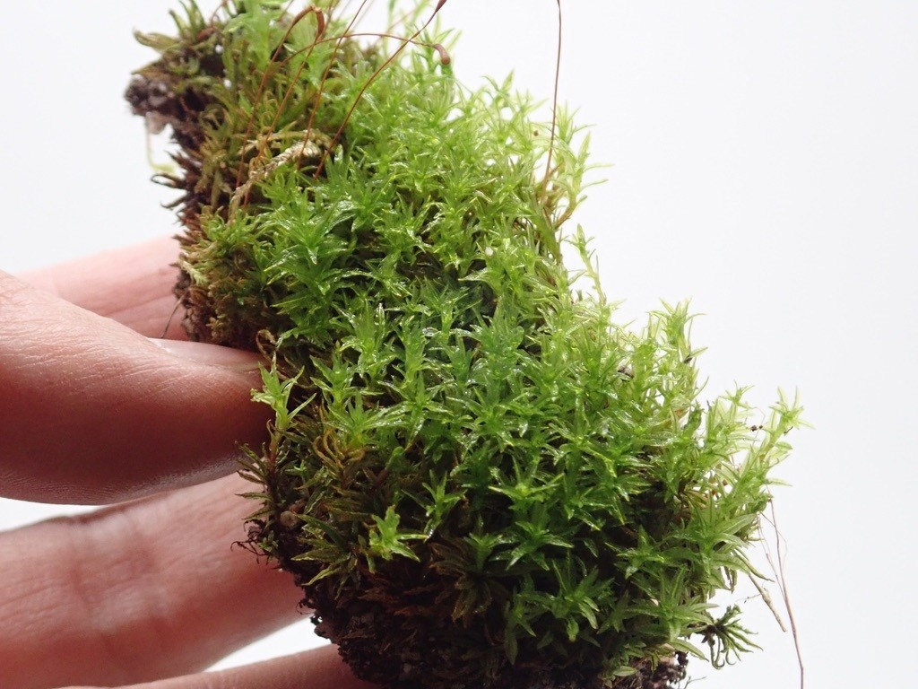 土のついた苔の植え付け方①