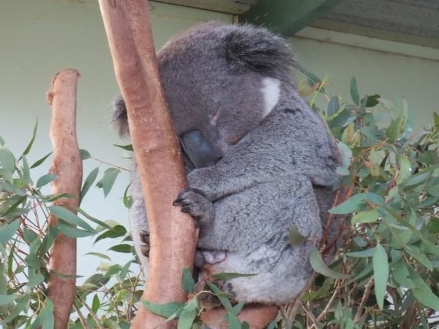 コアラ の 赤ちゃん どこで 育てる