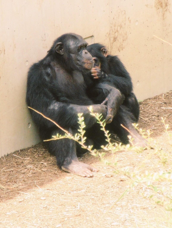 共食い チンパンジー チンパンジーは共食いをする⁉意外と知らない生態を紹介!特徴や知能など