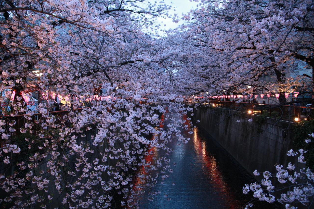 今年は夕方から夜にかけての桜 #お花見 #桜