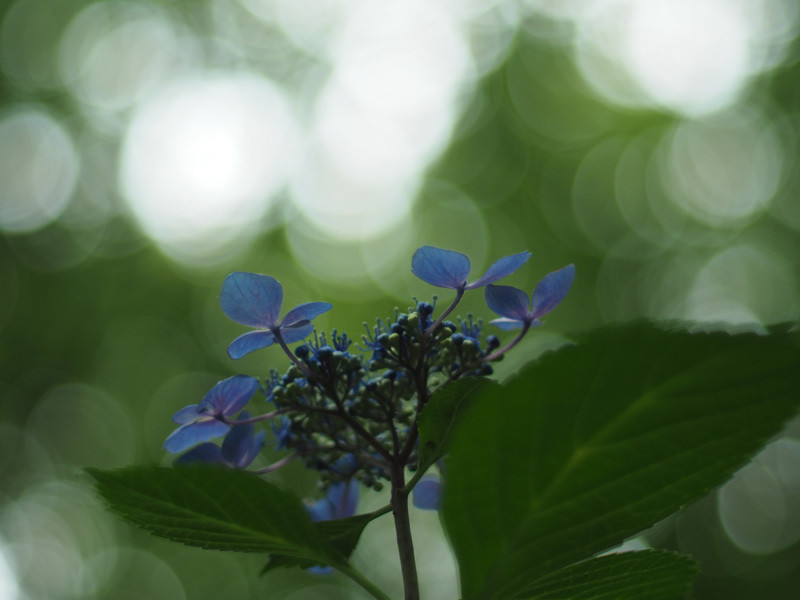 ダウナー系の感性に子ども心を取り戻してあげたくて 紫陽花の花