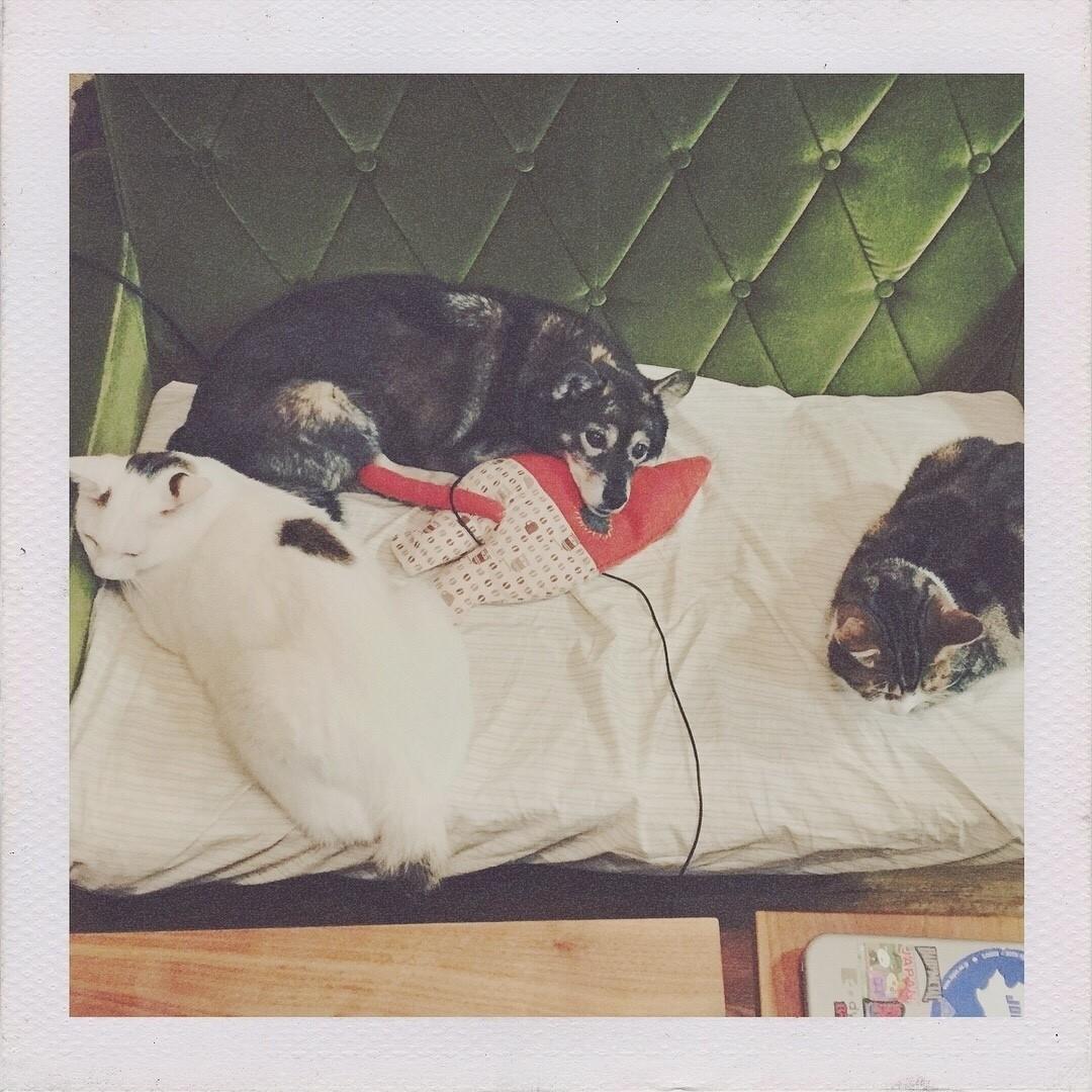 3匹が集っているところを順番に撫でてると、撫で方の強弱や時間に平等性がない気がして何回も撫で直したりします。 で、撫でやめどきがわからなくなると。 https://instagram.com/p/Bep_Dz7Aom6/ #猫 #ねこ #写真