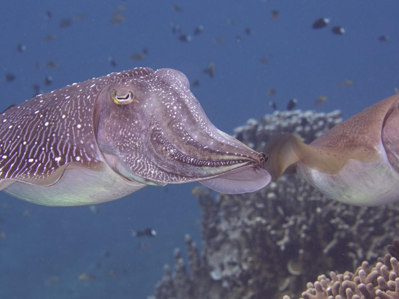 「コブシメ」 産卵を終えて安心顔のコブシメさん