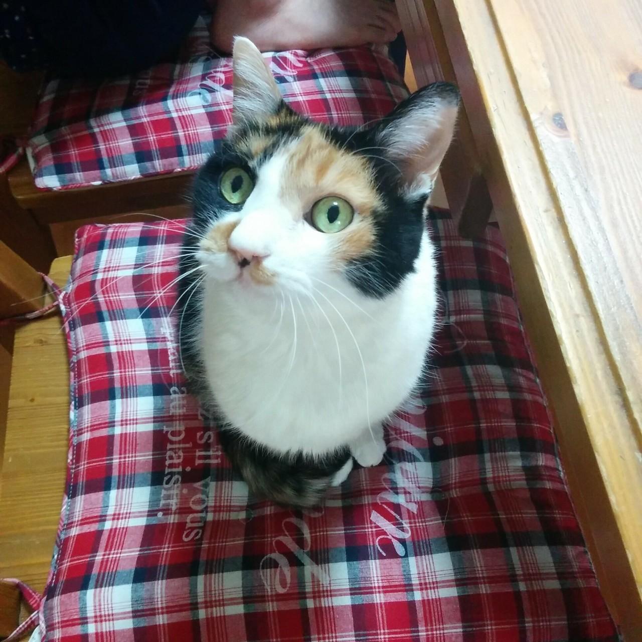 「美しすぎてけしからん三毛猫みかん」の美しすぎるショット集です、お納めください。あ、おはようございます🙋