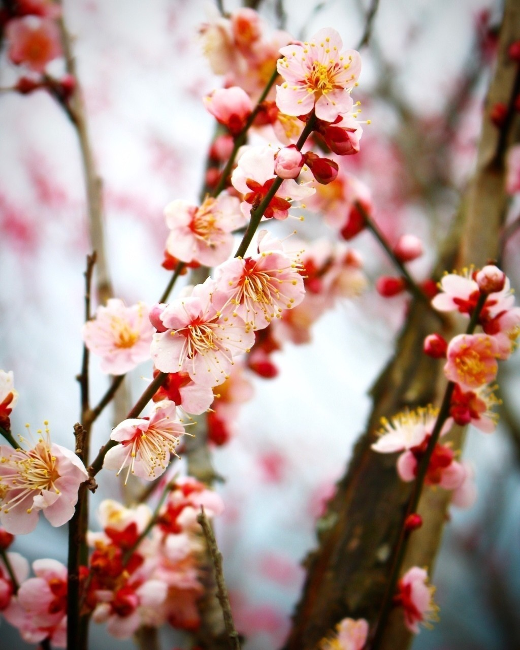 梅の季節がきました。 和歌山のみなべは咲いてましたが、石神はまだ3分咲きほどでした。