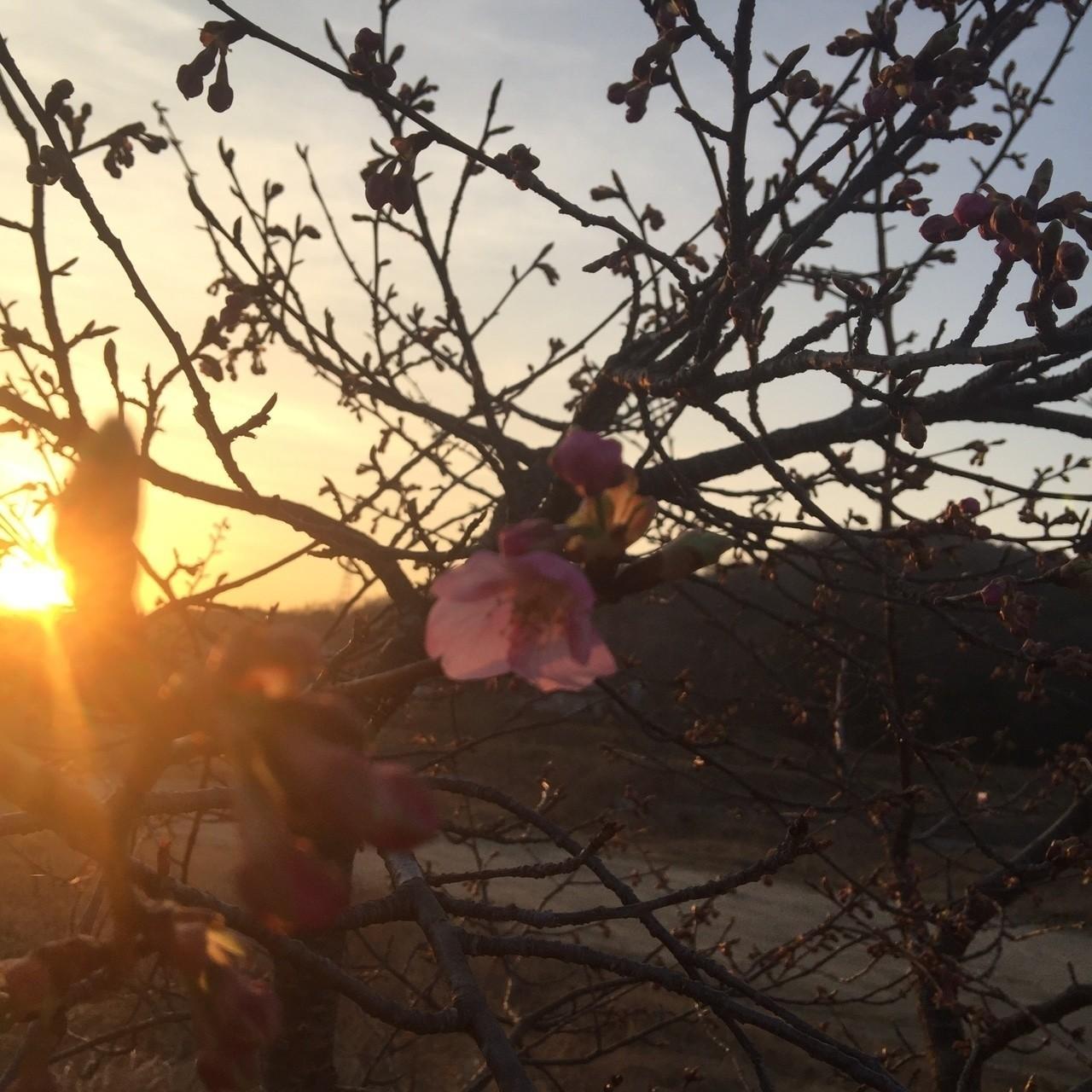夕日  桜一輪
