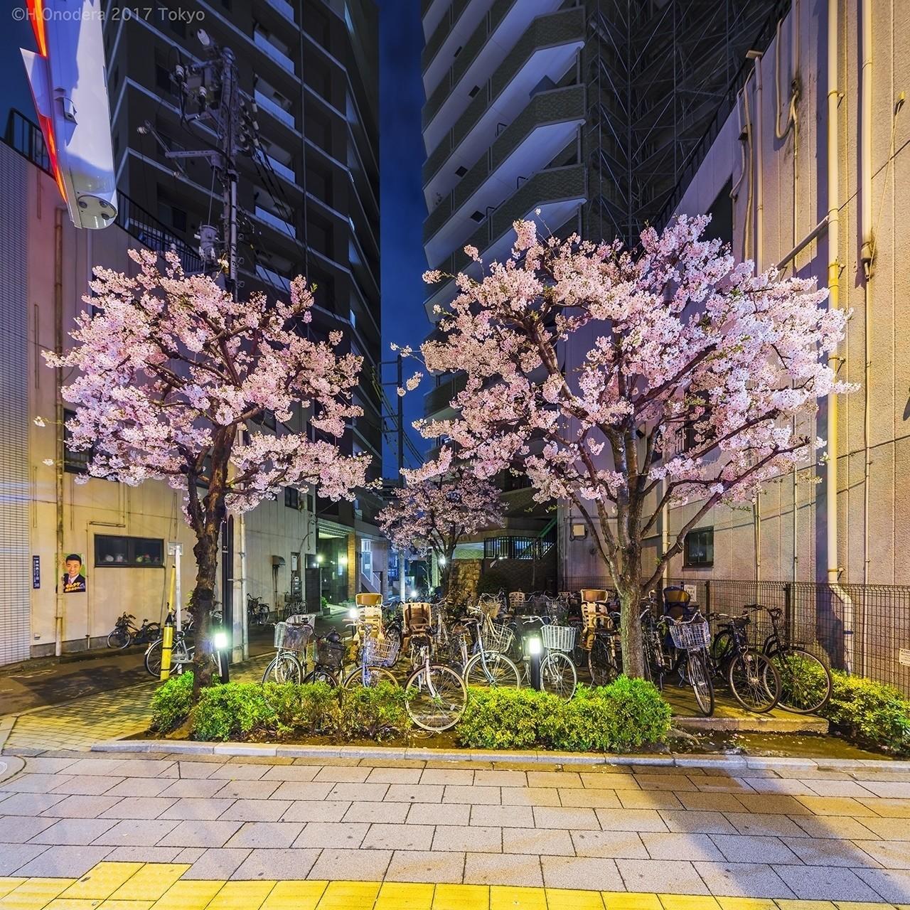種類:チャリオキバミツゴケッカイザクラ 墨田区(日本野良桜学会)