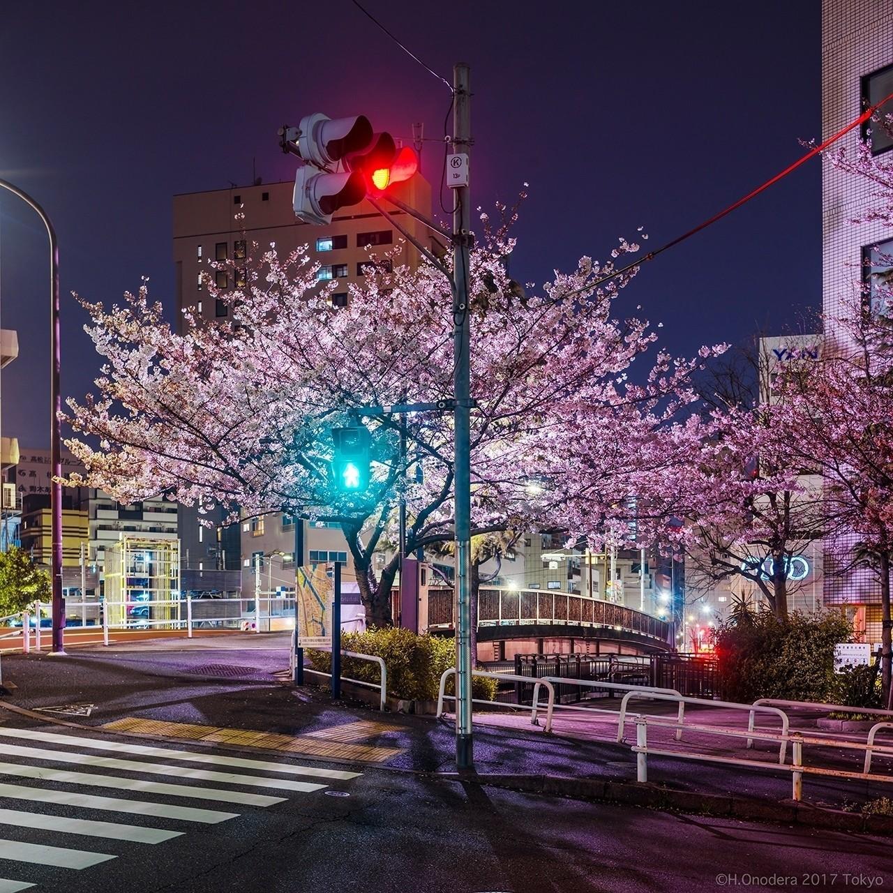種類:ハシヅメオオモフリッパザクラ 港区(日本野良桜学会)
