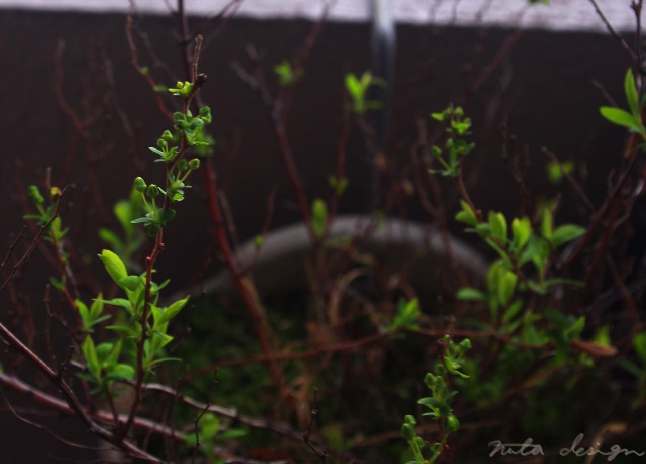 またも一日中の雨。春ってこんなんだっけ…と不安になるも新芽と蕾はどんどん出てくるわけで