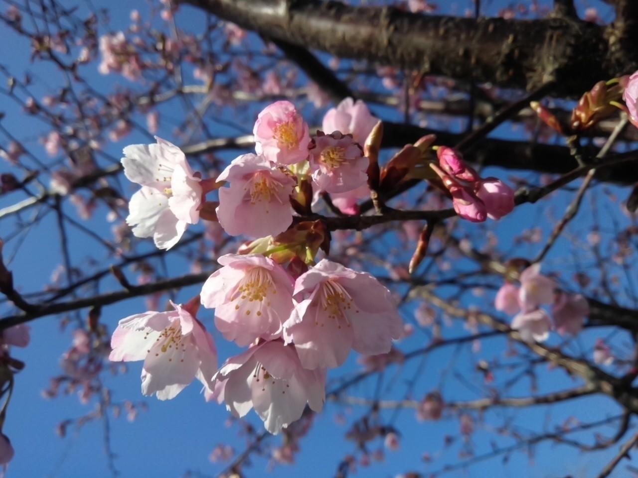 梅じゃないよ、桜だよ~★