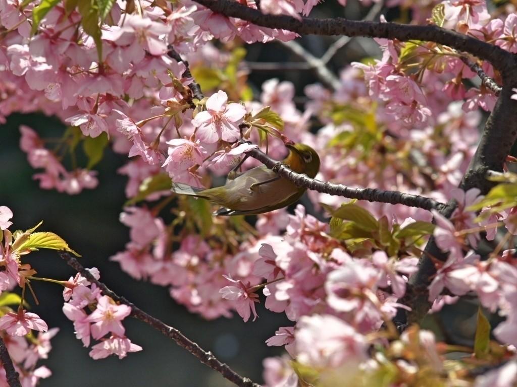 自宅から徒歩圏内にある川沿いの遊歩道脇に一本だけ植わっている河津桜。ふだんあまり通らない道なので、今までこの木の存在を知らずにいました。葉がだいぶ出ていましたが、鮮やかな色味が印象的です。