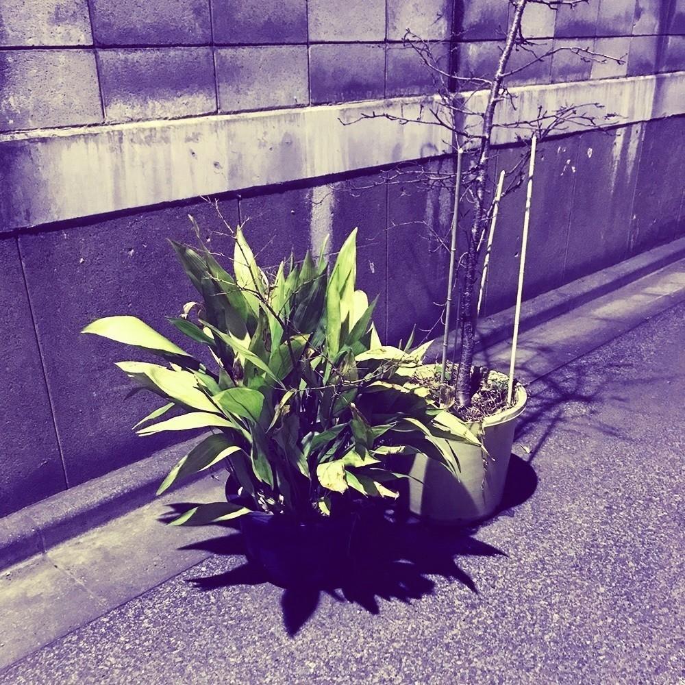 墨田区の路地の植物(個人所有?)