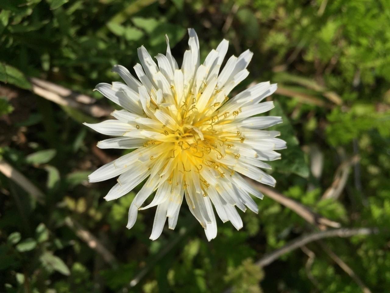 26日まで1日1回、少しづつ季節を進めて花写真載せます。  よろしくお願いします。  春、白花タンポポ  #花テロ2018 #白花蒲公英 #花写真