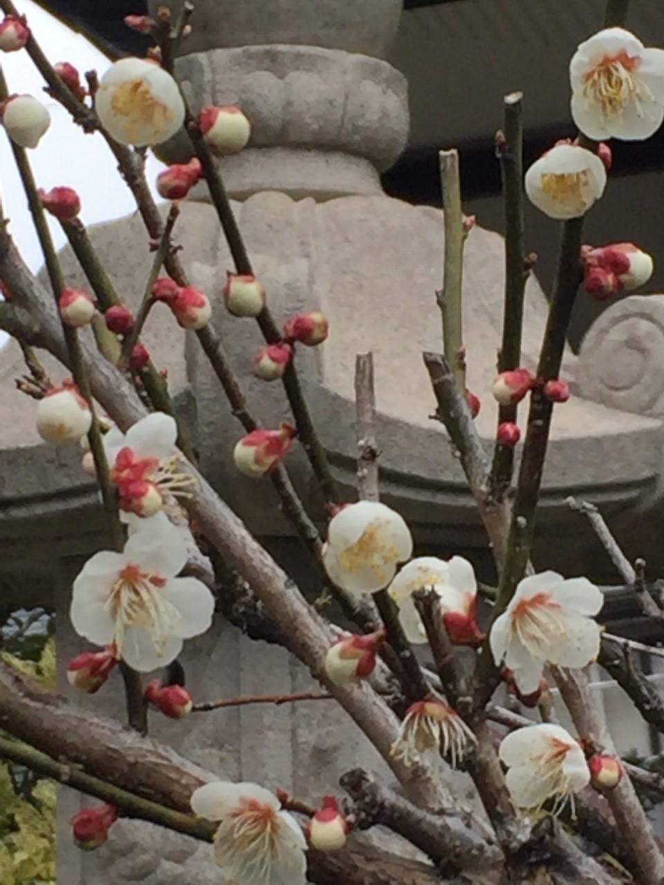 梅は岐阜県美濃地方はもう見頃でしょうね。 今週いっぱいはほとんど雨みたいだから、雨と梅見るにはいいかも♪ と、勝手にウキウキしてます。  またウグイスや変わった鳥の声が聞けたらいいな。  ウグイスや変わった鳥の鳴き声は、梅や桜の木の近くでよく聞くのですが、梅は近所のお宅にちらほら植えてあるのを見るぐらいで、桜並木ならぬ『梅並木』って見たことないな〜と、ふと思いました。 桜は木曽川に近い地域ならよく見るのにw ちょっと探してみようかな。