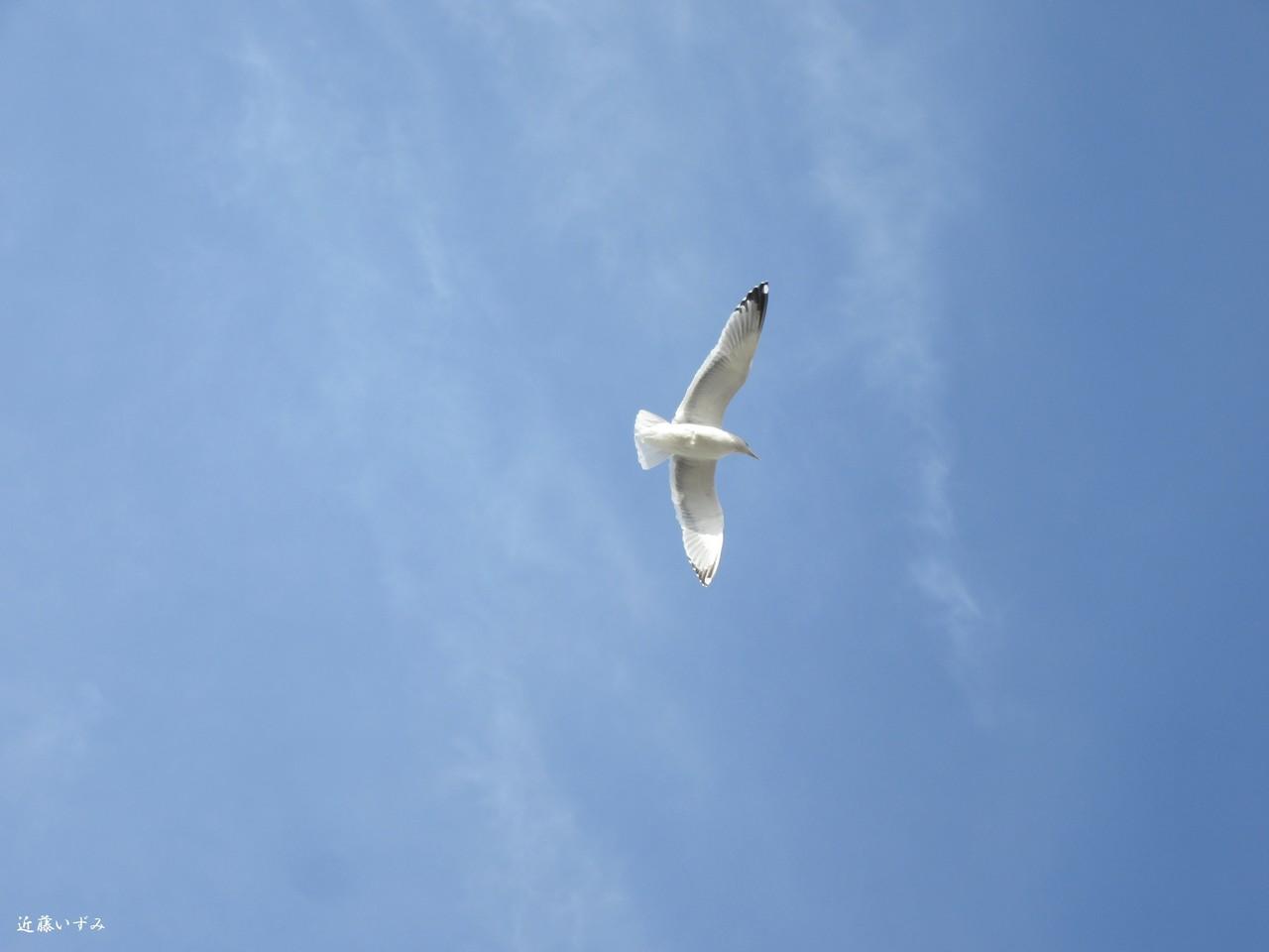 大洗の那珂湊でアンコウ料理を食べました。満腹で店を出て空を見上げたら、気持ちよさそうに飛んでいたので撮りました。