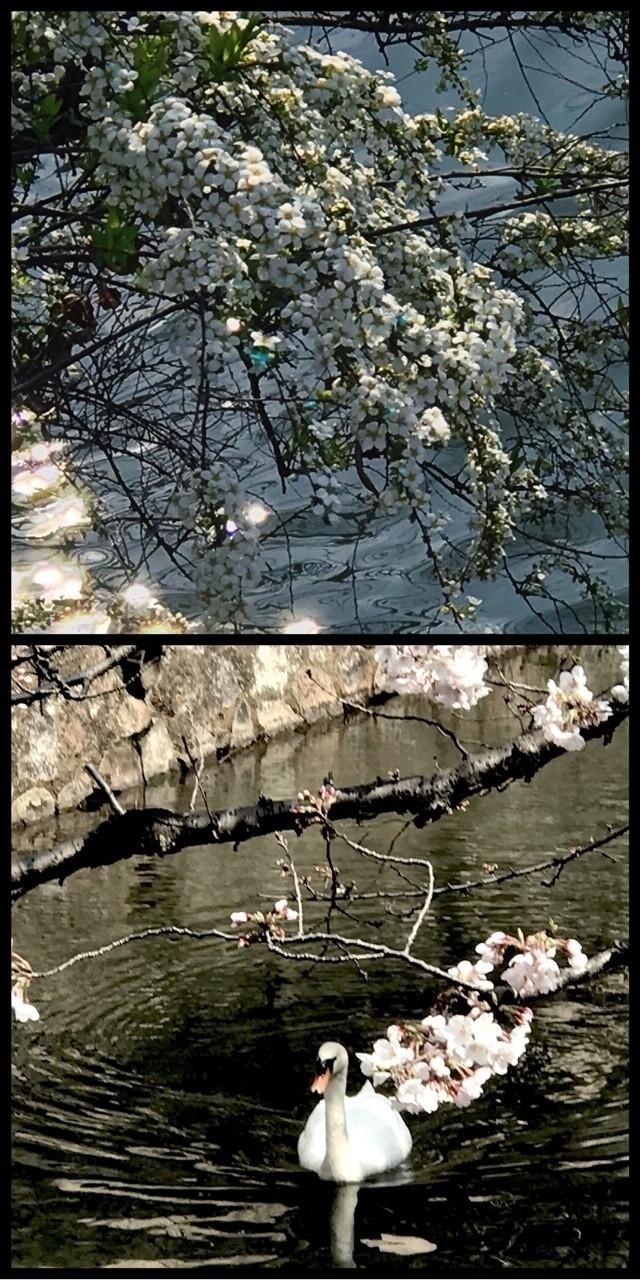 倉敷に来ています。この地区の桜はまだ、五分咲きといったところでした。