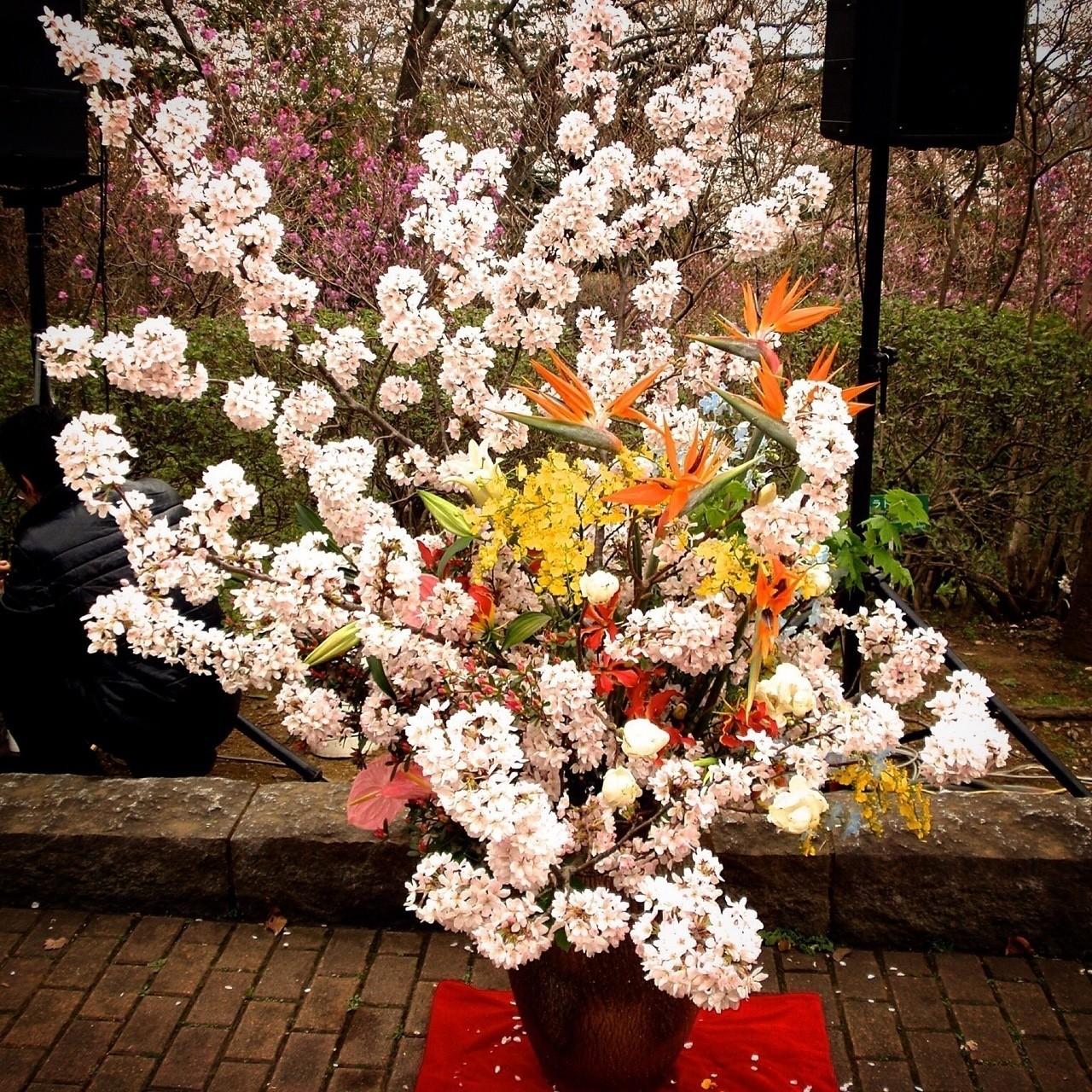 桜の季節の観桜会で生けたお花です。花材は桜、ストレリチア、グロリオーサ、ハクモクレン、オンシジウム、イタヤカエデ、アンスリウムなど。  桜は満開になるとあっという間に散ってしまうので、華道作品として使う時にはタイミングがとても重要。 イベント前日に5〜7分咲きくらいの状態で生けて、当日8〜9分咲きにするのがベスト。  桜に限らず、花は満開になる直前が一番美しいです。今まさに満開になろうとする、生命力が爆発する瞬間の輝きたるや!  #生け花 #華道 #草月流 #華道男子 #桜