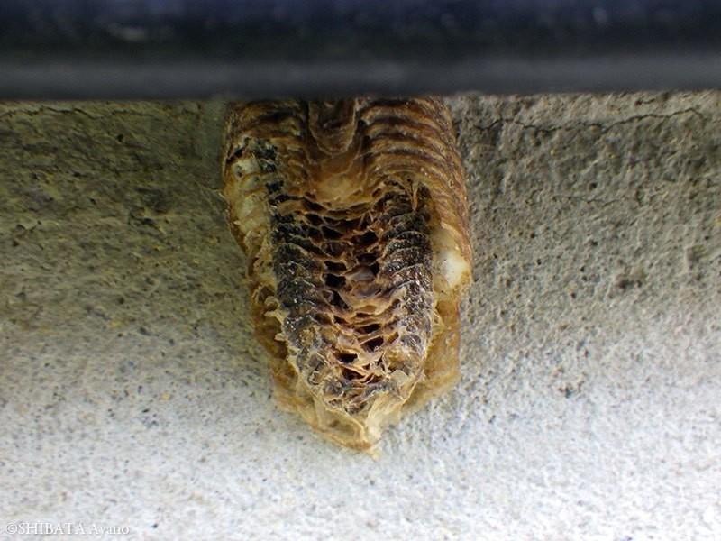 庭】カマキリの卵鞘、地蜘蛛の巣...