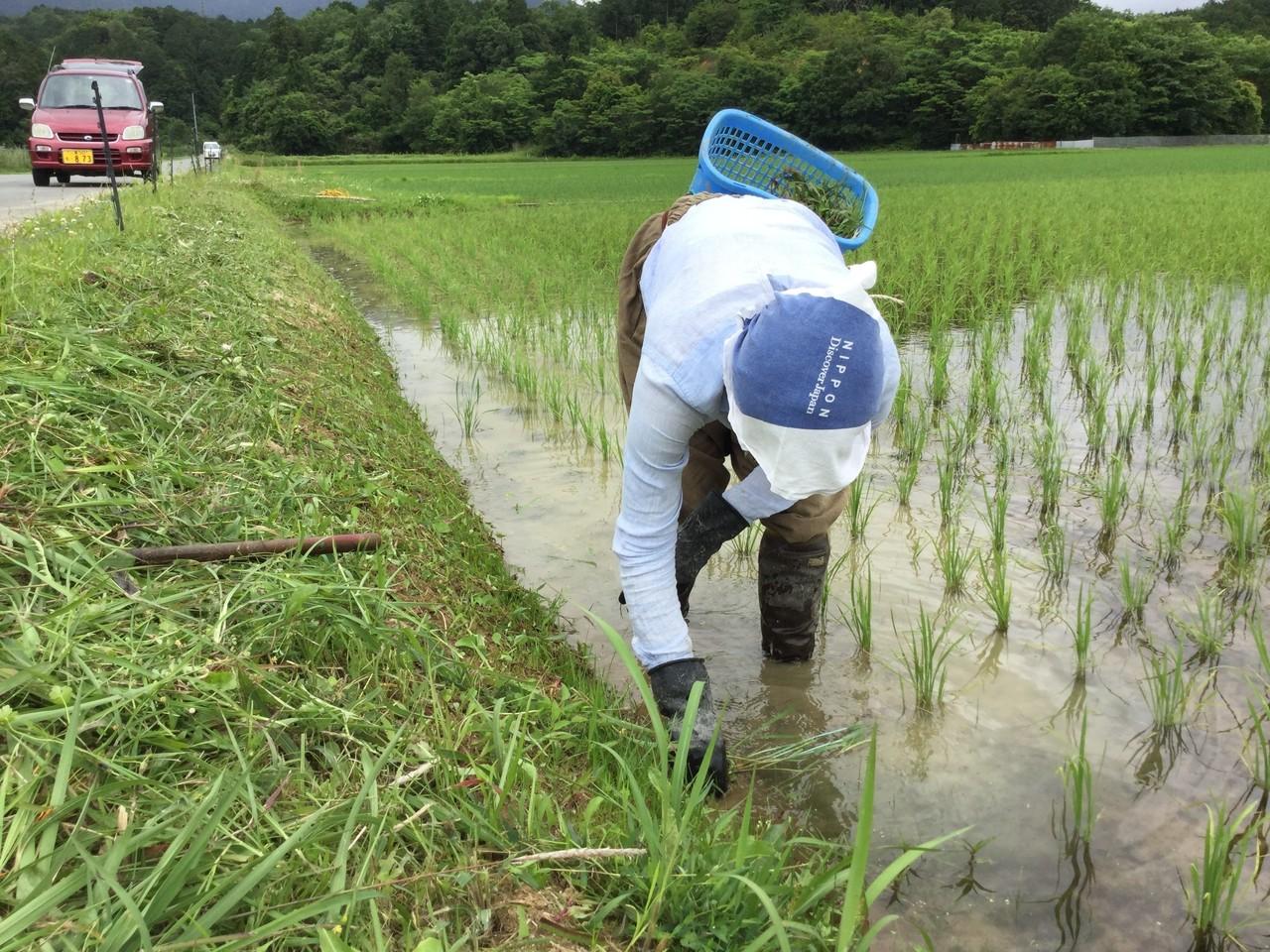 これは米子がう植わってる田んぼではありませんが、このように畦から伸びてくる草を刈る必要があります。そのままにしておくと、畔から田んぼの中に入り込み、さらに田んぼの中で広がります。畔際の植物と言うのは、水陸両用のものが多いため簡単に畔でも繁殖できます。