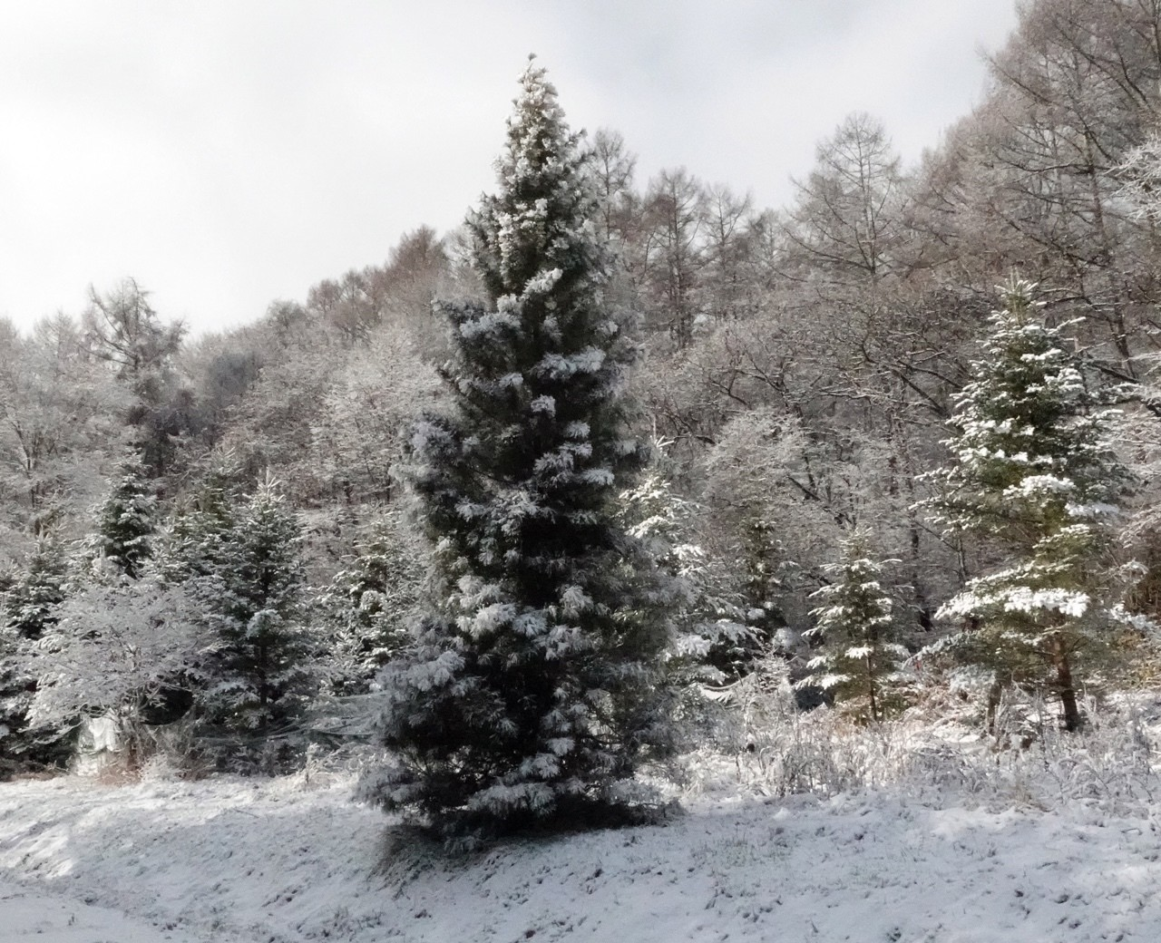 なんとなくクリスマスっぽい写真を撮ってきました。ミヤマホオジロ撮れて良かった。曲は「戦メリ」しか弾けない (;ω;) 皆様、メリークリスマス。#野鳥 #ミヤマホオジロ  #クリスマス #雪